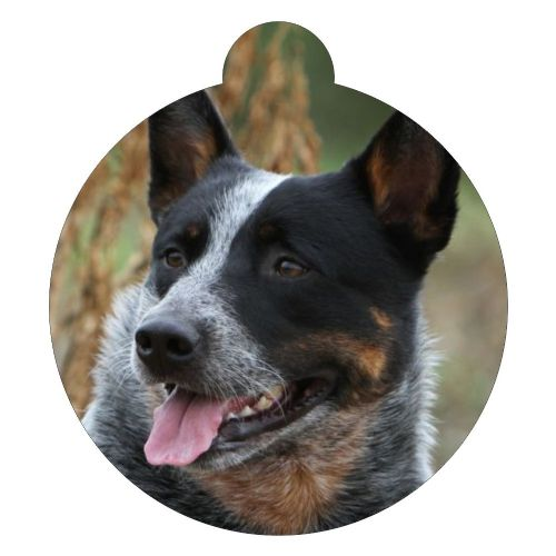 Australian Cattle Dog  Picture ID tag